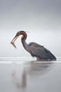 Purple heron catching a fish