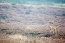 Roe deer in heather landscape