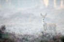 Roe deer in early morning fog