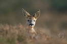 Young roe deer portrait