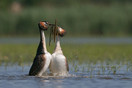 Great crested grebes performing their weed dance