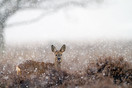 Roe deer female during snowfall