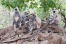 Langur family resting in a banyan tree
