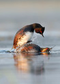 Black-necked Grebes mating