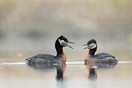 Red-necked Grebes courtship dance