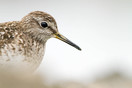 Wood Sandpiper close-up