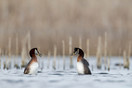 Red-necked Grebes dancing