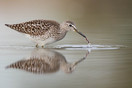 Wood Sandpiper foraging