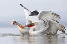 Pelicans will often steal fish from each other