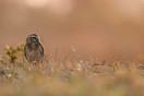 Burrowing Owl in the evening light, Barra Mansa
