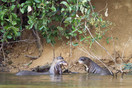 Giant otter youngter learning to swim, Barranco Alto
