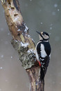 Great Spotted Woodpecker in snowfall